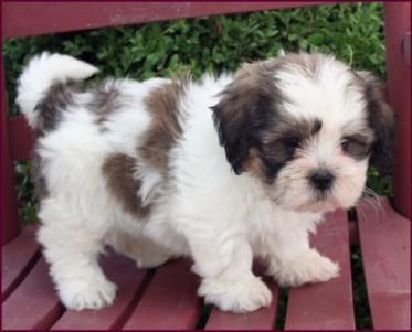 Shichon Teddy Bear. I've seen the Teddy Bears with Lauren before, and we both fell in love with them. Great dogs. Too small? I don't know