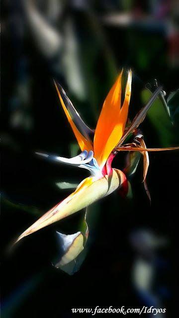 Cennetkuşu çiçeği  ,Strelitzia reginae , oiseau de paradis , Strelitzia , Bird of Paradise , Crane flower, Turnagagası