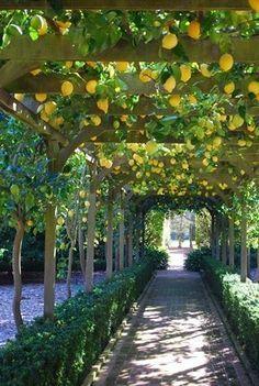 lemon trellis...just imagine the wonderful smell of lemons as you walk below this trellis...oh ... heaven.....on earth !