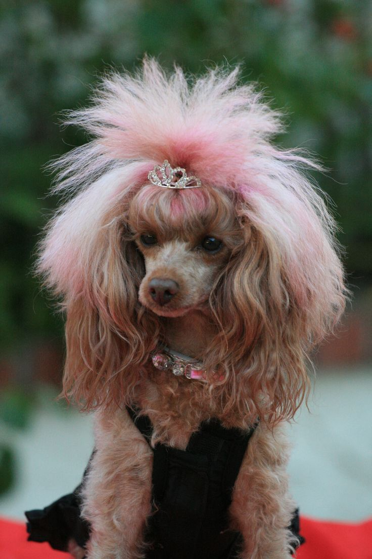 15 Poodles With Better Hairstyles Than You Who Let The