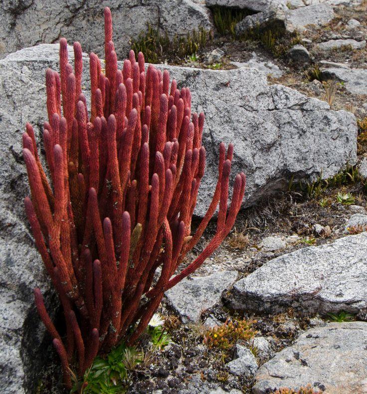 Las plantas en El Cocuy parecen corales marinos...