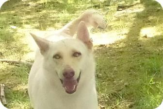 Bellevue, WA - German Shepherd Dog Mix. Meet Marlo, a dog for adoption. http://www.adoptapet.com/pet/12915967-bellevue-washington-german-shepherd-dog-mix