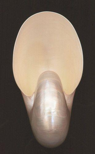 Nautilus Pompilius Sea Shell