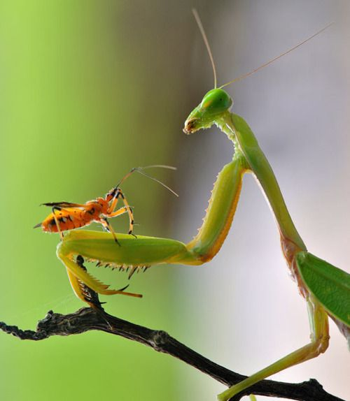 A mantis appears to have struck up a very unlikely friendship with a tiny insect. Photographer Nordin Seruyan took several shots of the unusual pairing after finding them in his back garden in Borneo, Indonesia. Picture: Nordin Seruyan / Solent News & Photo Agency (via Pictures of the Day: 20 February 2012 - Telegraph)