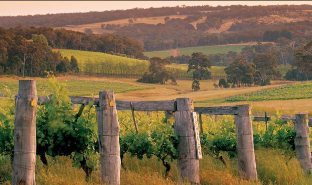 MARGARET RIVER WESTERN AUSTRALIA, AUSTRALIA Grape harvest is now in full swing in the vineyards at Margaret River, the most westerly of Australia's many wine-growing regions, where Cabernet Sauvignon is king. The intrepid success of Margaret River wines h