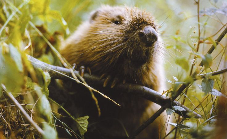 And this beaver, who is totally judging you, you perv. | 18 Beaver Shots You Definitely Shouldn't View At Work