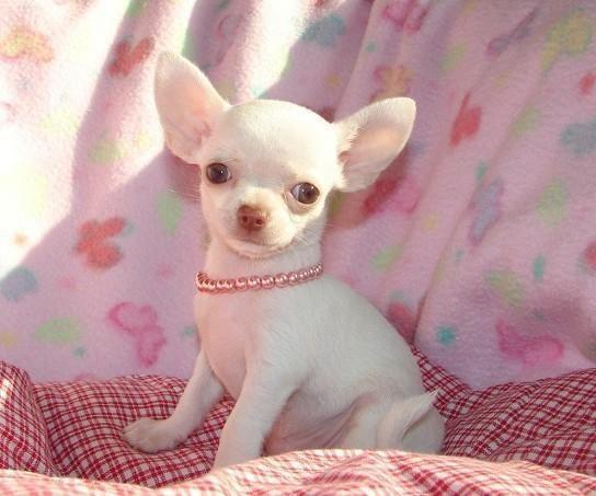 buy apple head chihuahua smallish size - Animals