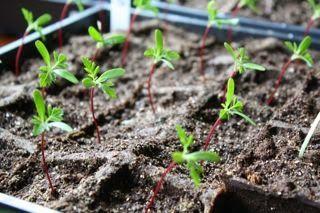 HOW TO GROW MARIGOLDS FROM SEED |The Garden of Eaden