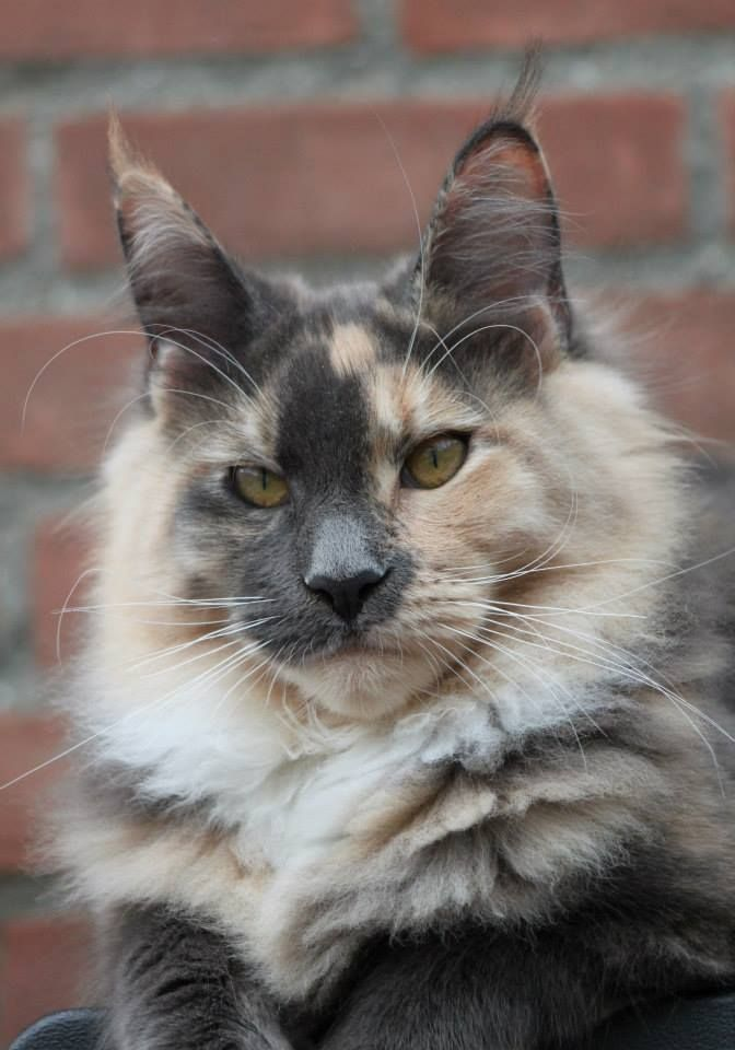 Maine Coon, Blue Torti Solid & White (g 09) Garden of Coons Mystic Crescent