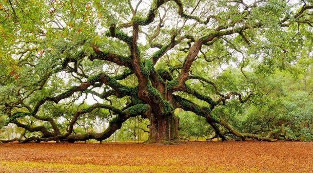 Магические фотографии и факты о деревьях / фото he Angel Oak Tree (ангельский дуб) в Чарльстоне. Фотограф Марк Рекидан