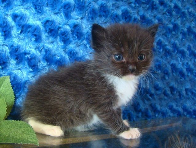 Odysseus Black Tuxedo Solid Male Ragamuffin - Ragdoll Kitten for Sale - from www.RagdollKittens.com
