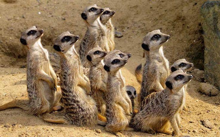 Los suricatas los mamíferos más mortíferos entre sí