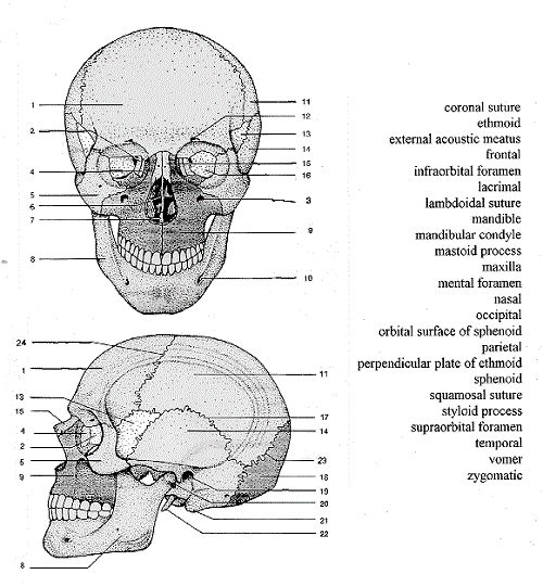 skull labeling worksheet