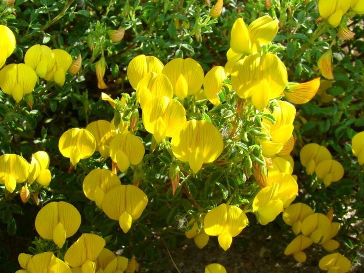 Ononis ramosissima - Image courtesy of Jardim Botanico UTAD, biggest botanical garden in Europe. http://facebook.com/utadjb a new HD photo every day.