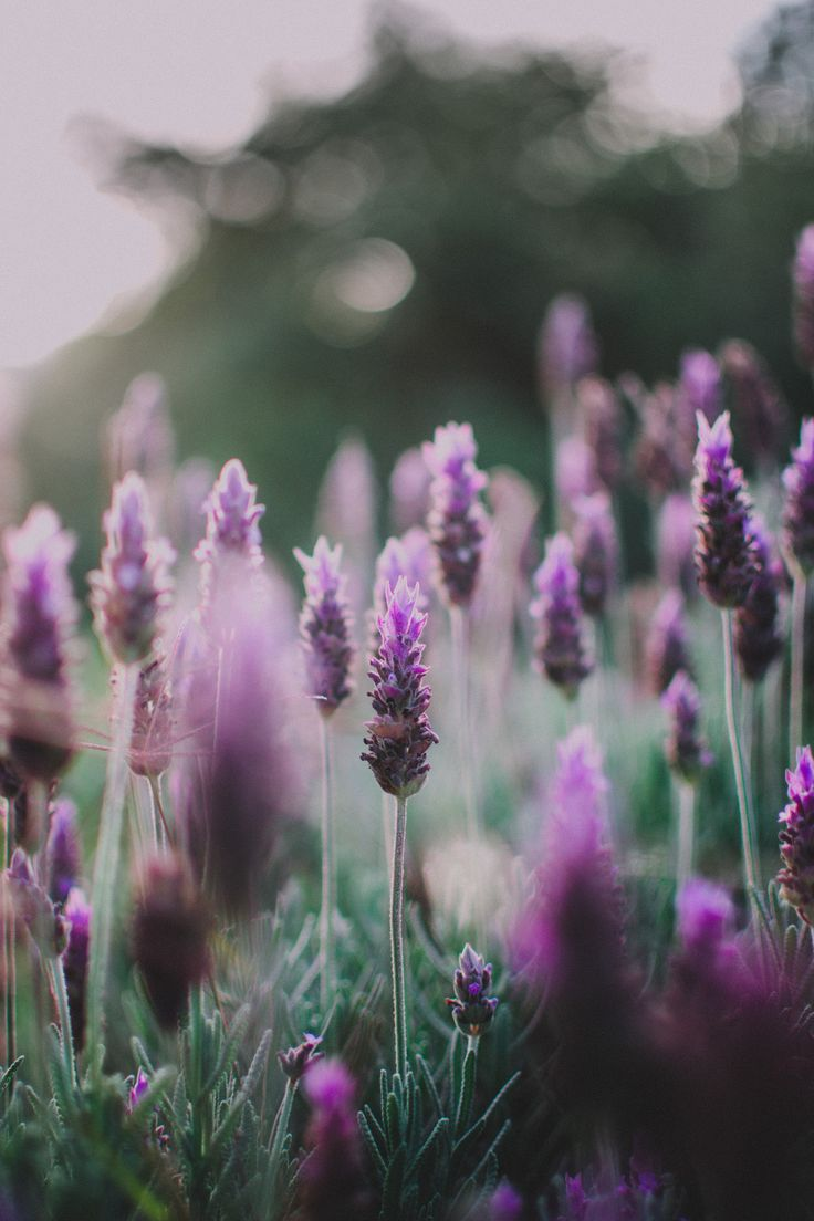 lavender days by matialonsor