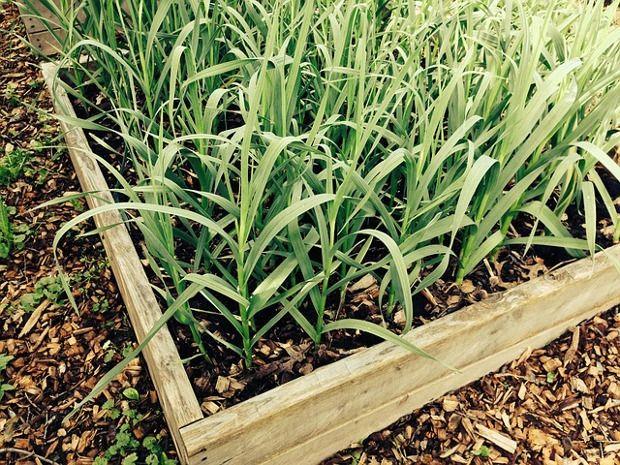 Ajos: un buen cultivo para iniciarnos   Planeta Huerto