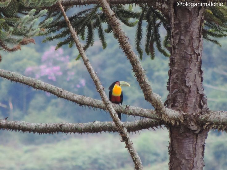 Tucano-de-bico-verde (Ramphastos dicolorus) fotografado na Pousada Bicho do Mato em Gonçalves/MG, em Março/15. Saiba mais acessando wp.me/p3jTd5-2OZ