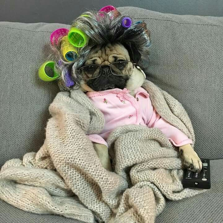 Pug being a couch potato | Pugs - adorable fur babies ...