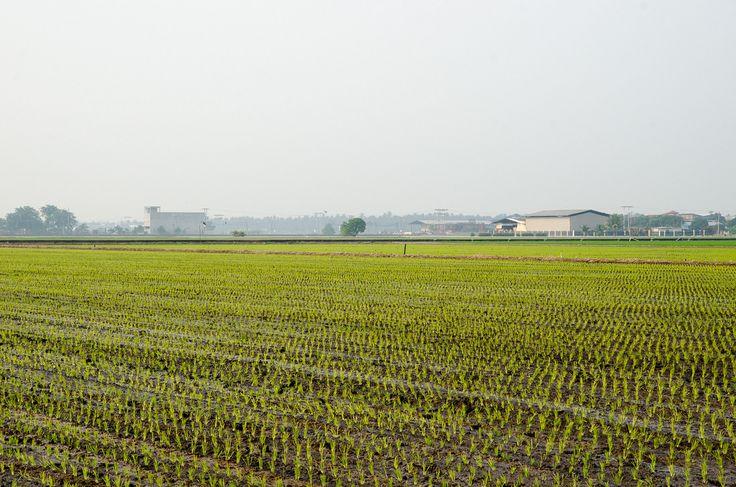 Paddy Field at Sekinchan