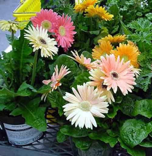 Gerbera jamesonii   Gerber daisy (Gerbera jamesonii)