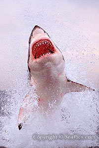 picture great white shark breaching