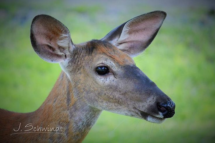 J. Schwindt Photography- I was so close when I took this picture that I can almost see my reflection in her eye!