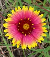 Helianthus annuus - Indian Blanket