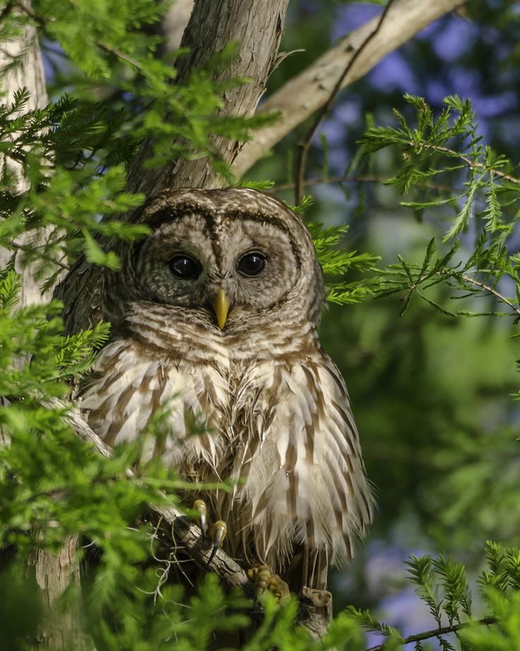 Barred Owl Identification, All About Birds, Cornell Lab of ...