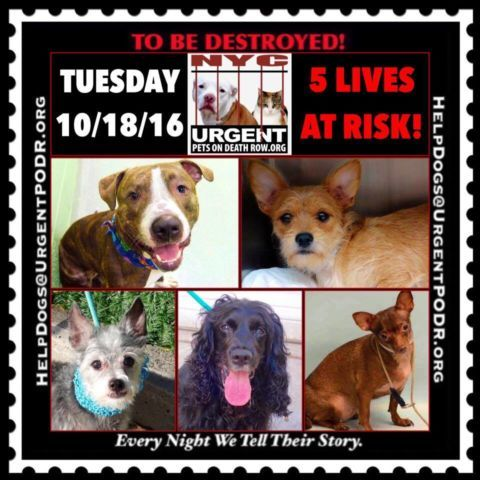 "***5 BEAUTIFUL LIVES TO BE DESTROYED 10/18/16 @ NYC ACC. *SO MANY GREAT DOGS HAVE BEEN KILLED: Puppies, Throw Away Mamas, Good Family Dogs. This is a HIGH KILL ""CARE CENTER"" w/ POOR LIVING CONDITIONS. Please Share!  Click for info & Current Status: http://nycdogs.urgentpodr.org/to-be-destroyed-4915/"