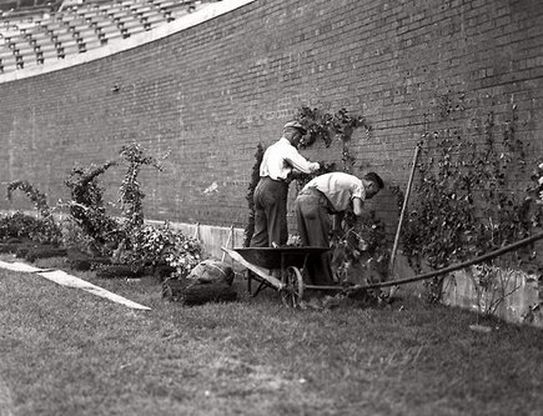 Planting the Ivy 1937 Wrigley Field #Cubs...cool! It took, I know because I've seen it!