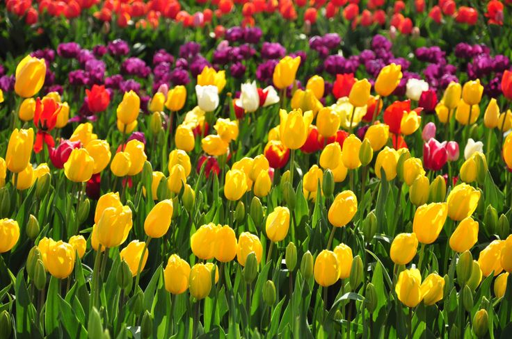 Tulip, Melbourne, Australia by End Chye Toh.