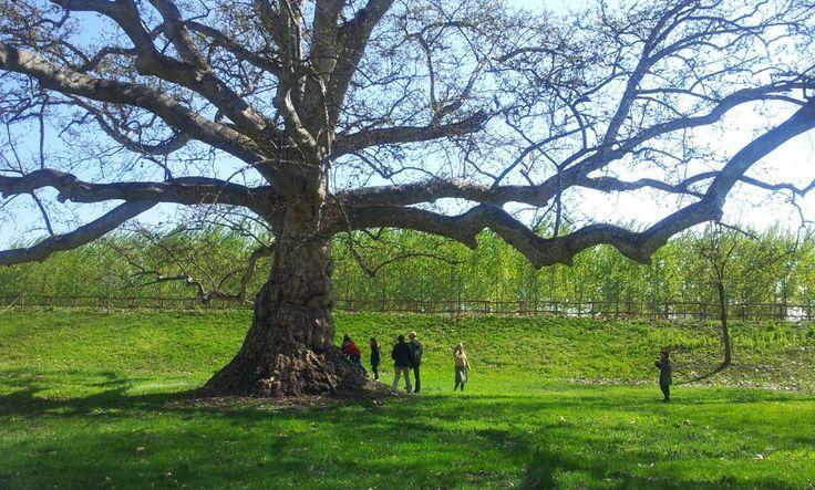 Great oak in Santena Italy