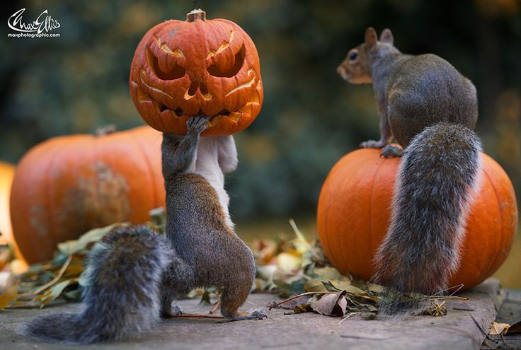 British photographer Max Ellis (whom we wrote about previously here) is a pro at capturing brilliantly staged shots of wild squirrels. When he noticed that the suspended Jack O' Lantern in his backyard was attracting the attention of a squirrel, he got to work snapping these delightful photos.