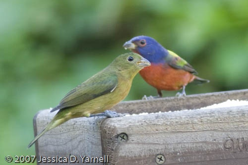 Painted Bunting. Guide to Central Florida birds ...