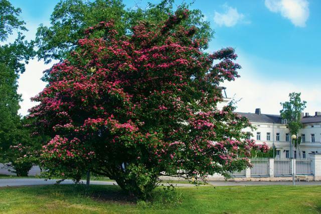 Ruusuorapihlaja, Crataegus x media http://www.viherpiha.fi/pensaat-ja-puut/puu-joka-pihalle-ruusuorapihlaja