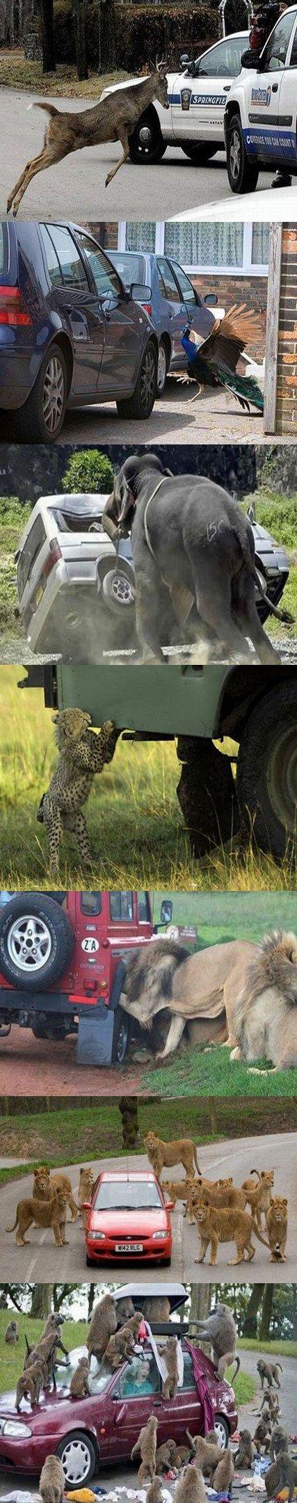 dzikie zwierzęta atakują samochody