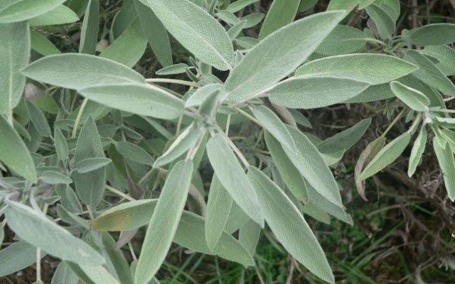 THIS PLANT TREATS ABSOLUTELY EVERY DISEASE, ITS NAME MEANS SAVIOR