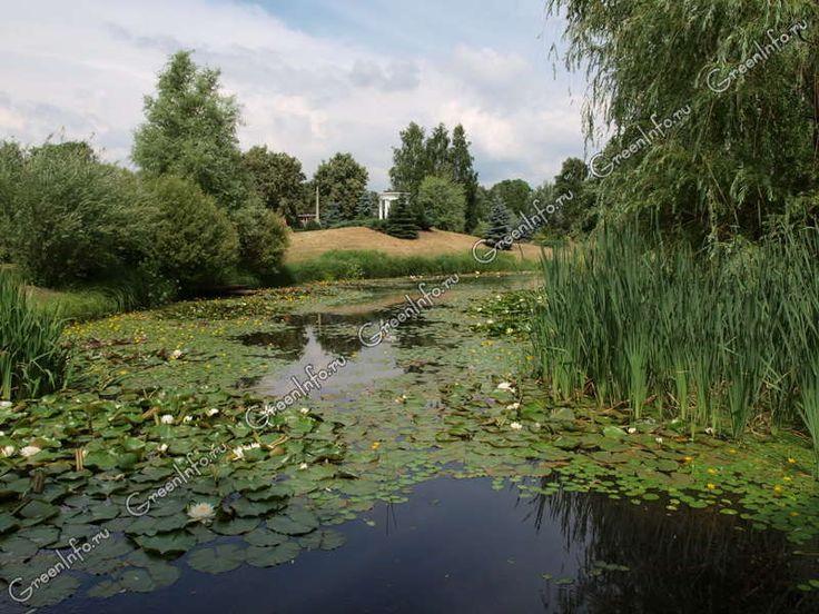 Водные растения - Растения для водоемов - GreenInfo.ru