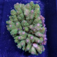 Corals - Live Coral For Sale For Reef Aquariums | thatpetplace.com