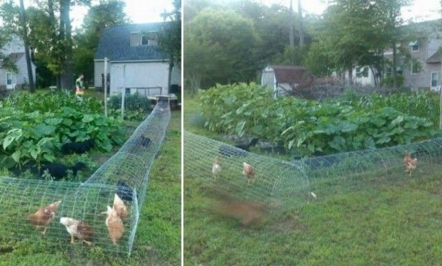 DIY Chicken Tunnel