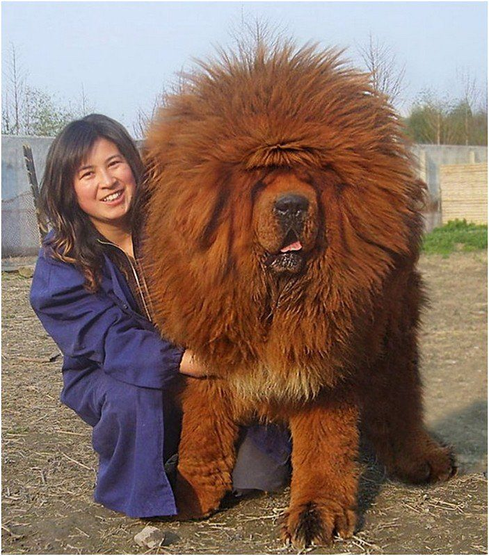 giant red tibetan mastiff