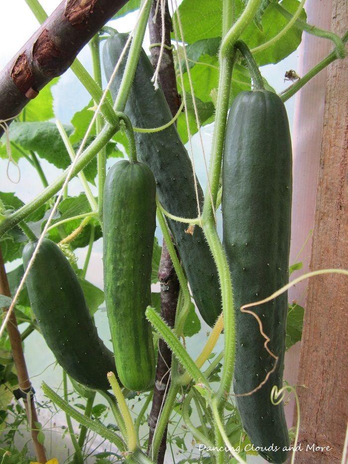 Greenhouse cucumbers.