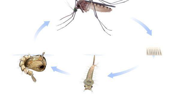 Malaria: il ciclo di vita del plasmodio