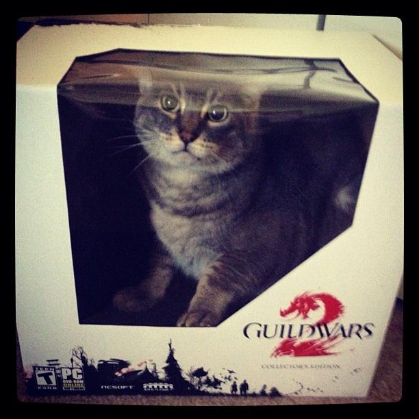 RL cat in CE box. #guildwars2 #arenanet: Rl Cat