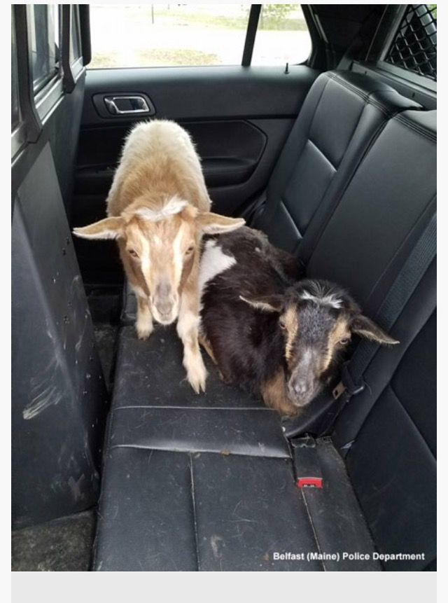 BELFAST, ME 4/23/17 - Ex-cons Louis & Mowgli wait in patrol car to be released after stealing cat food. Just another case of goats being goats!