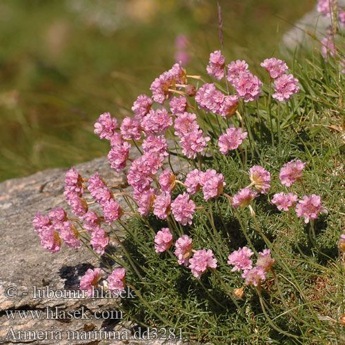 Armeria maritima Statice Sea Pink flower thrift Sand-Grasnelke