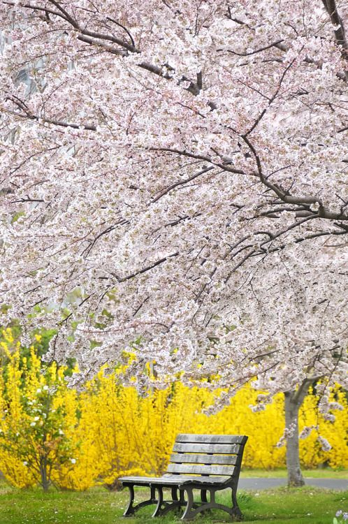 Under the full bloom, Tokyo, Japan