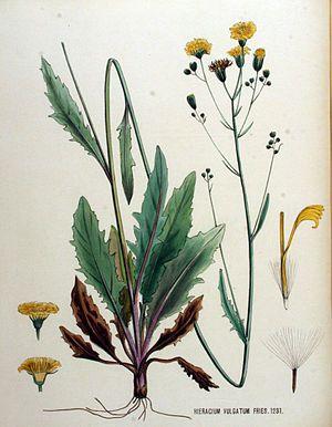 Gewöhnliches Habichtskraut (Hieracium lachenalii), Illustration