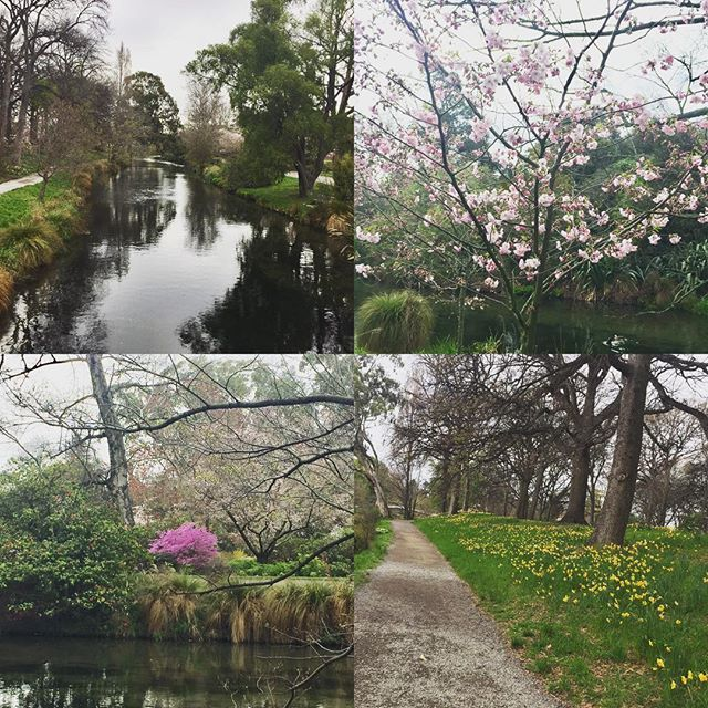 【bexy75】さんのInstagramをピンしています。 《Hagley Park..enjoying the peace and calm 💞🌸🌺💞 #christchurch#southisland#ignz#hagleypark#peaceful#peacefulmind#lovechristchurch#botanicgardens#flowers#river#cherryblossoms#picoftheday#bestoftheday#newzealand》