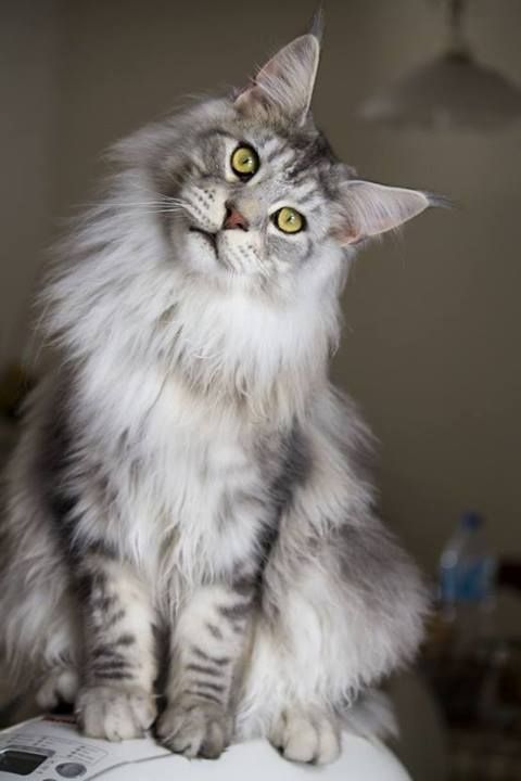 The Maine Coon Cat In Great Heart